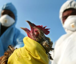 هكذا بدأت «الزراعة» الاستعداد باكرا لمواجهة انفلونزا الطيور