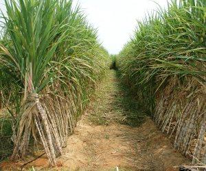 8 إجراءات للحد من استيراد المحاصيل السكرية