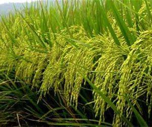 """3 مليون جنيه ميزانية مركز البحوث الزراعية.. وأستاذ بالمركز: """"الأرز يحتاج 10 مليون لوحده"""""""