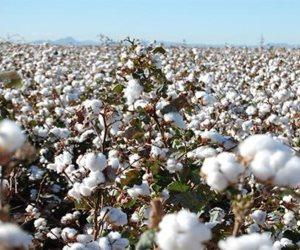 الذهب الأبيض يستعيد عرشه.. الإحصاء: 181% زيادة في صادرات القطن بالموسم الماضي