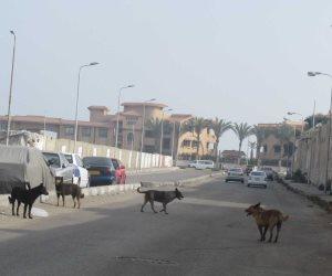 الكلاب الضالة تثير الذعر بمنطقة «قبضايا» ببورسعيد.. والأهالي يستغيثون