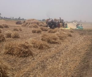 حصاد 26 ألف فدانا من محصول القمح فى موسم 2018 بالدقهلية(صور)