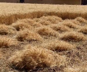 وكيل وزارة الزراعة: استلام 509 طن قمح بشون ومطاحن دمياط