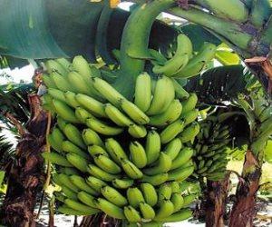 تعرف على توصيات الزراعة لمكافحة آفات أشجار الموز لزيادة الإنتاج
