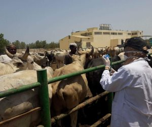 تحصين 9 آلاف رأس ماشية و26 ألف جمل من الحمى القلاعية والوادي المتصدع بالبحر الأحمر