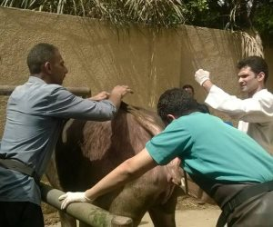 بيطري الجيزة: علاج 586 رأس ماشية بقرية شبرامنت بأبو النمرس