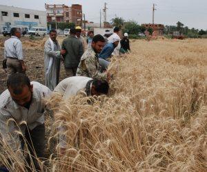 4 حلول تؤهل القمح للحفاظ على مكانته بين المحاصيل الاستراتيجية