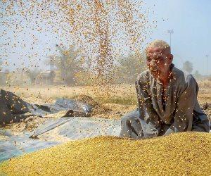 272 ألف طن قمح بالمنيا تم توريدها منذ بدء موسم الحصاد