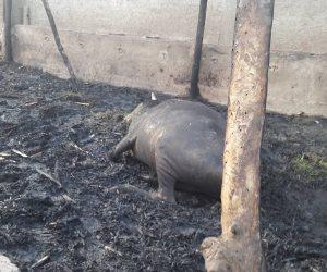 نفوق 6 رؤوس ماشية فى حريق داخل حظيرة بالسنطة غربية