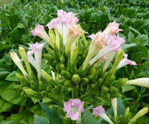 زهور التبغ تحتوى على مضاد حيوى لعلاج البكتيريا