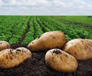 أسعار البطاطس «نار» والسبب مجهول.. «صوت الأمة» تبحث في الأزمة