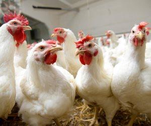 ننشر أسعار الدواجن والبيض واللحوم اليوم الإثنين 16-3-2020