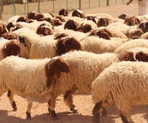 لجان بيطرية للكشف عن الأضاحي بالأسواق والشوادر.. كيف استعدت «الزراعة» لعيد الأضحى المبارك؟