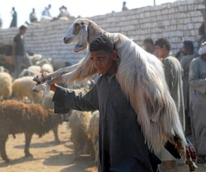 بعد تراجع أسعار رؤوس الماشية.. لماذا لم تنخفض تسعيرة اللحوم؟