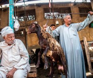 لو لسه هتشتري خروف العيد.. تعرف على طريقة شراء أضحية سليمة في 12 خطوة