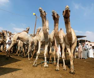 ضمن إجراءات مواجهة فيروس كورونا.. «الزراعة» تفحص الجمال الواردة من السودان