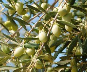 6 توصيات من «الزراعة» لزيادة إنتاج الثمار لمحصول الزيتون