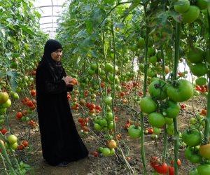 إرشادات وتوصيات «الزراعة» بشأن العروة الصيفية للطماطم