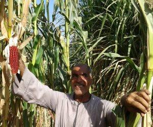 لجان متابعة واجتماعات لبحث التسويق.. الزراعة تستعد لترويج «العلف الأصفر»