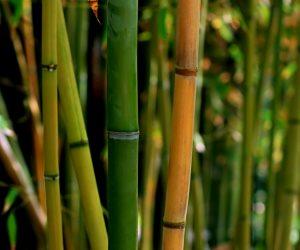 """بذرة واحدة قد تمنحك عالما نظيفا.. هل نتغلب على تلوث البيئة بـ""""البامبو""""؟"""