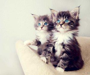 بعد إصابة فتاتين.. حقيقة تسبب تربية القطط في العمي والخرف والأمراض النفسية