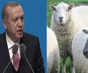 الخرفان في برنامج أردوغان
