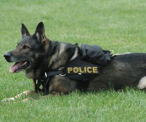 القرينة وحدها لا تكفي.. ما مدى قانونية تعرف الكلب البوليسي على المتهم؟