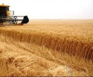 """""""زراعة الغربية"""": حصاد 550 فدان قمح وتوريد المحصول يبدء اليوم"""