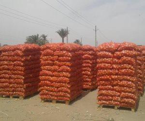 «الزراعة»: ارتفاع صادرات البصل والثوم لـ 456 ألف طن