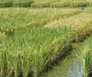 مصر لن تستور الأرز خلال العام المالي الحالي.. والتموين تكشف كفاية الناتج المحلي