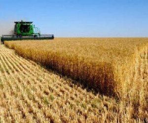 """القمح الليلة ليلة عيده.. """"الزراعة"""" تعلن مواصلة حصاد """"الذهب الأصفر"""""""