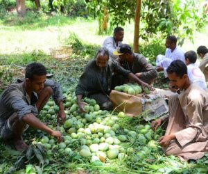 «العويس والصديقة والزبدية».. عمال مزارع المانجو يتحدثون عن «معشوقة الصيف» (صور)