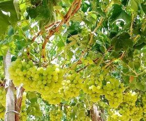 تعرف على إرشادات الزراعة حول طرق ري وتسميد العنب لزيادة الإنتاج