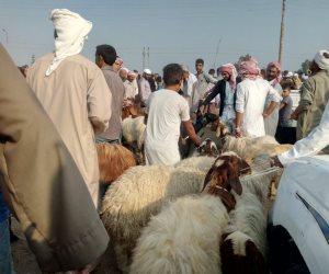 في أسواق شمال سيناء.. وفرة بأضاحي العيد.. والأسعار هادئة و «معقولة»  (صور وفيديو )