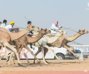 «شرم الشيخ» تستعد لسباقات الهجن بمشاركة 2000 متسابق