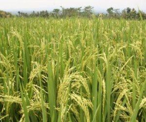 الحكومة تقرر تخفيض غرامات زراعة الأرز