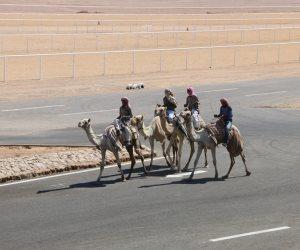 كل ما تريد معرفته عن سباق الهجن بمدينة شرم الشيخ.. 10 معلومات