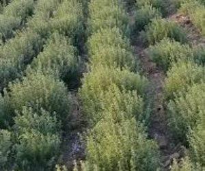 الأصول النباتية الطبية والعطرية في خطر..يدهسها الرعى الجائر وتطاردها التغيرات المُناخية