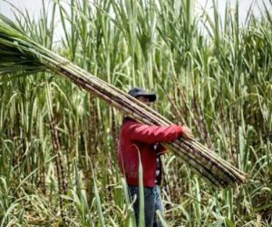 «مصر شايلة القصب»: مطالب لرفع سعر التوريد لـ1000 جنيه وبروتوكول تعاون لزيادة الإنتاجية لأكثر من 60 طن