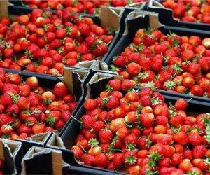 بسبب خفض الأسعار لـ 50%.. الفراولة في خطر والمزارعون يطلقون مبادرة الـ«8 بنود»