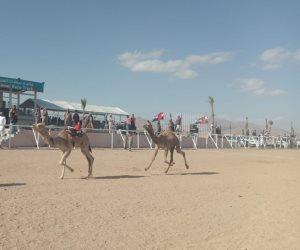 سباقات مهرجان شرم الشيخ للهجن تشهد تنافسا وتحديا من قبل ملاك الهجن والمضمرين (صور)