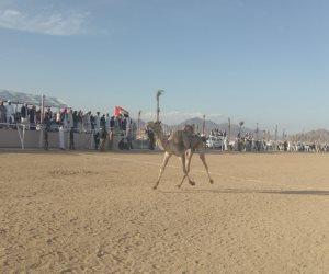 ننشر نتائج سباقات الفترة الصباحية لفعاليات مهرجان شرم الشيخ للهجن (صور)