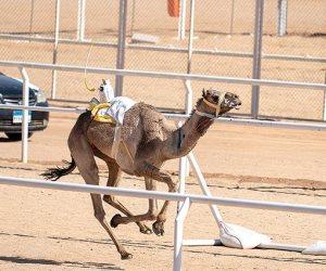 تواصل فعاليات مهرجان شرم الشيخ التراثي لليوم الثاني لسباق الهجن بـ 21 شوطا