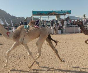 تواصل فعاليات اليوم الثالث لمهرجان شرم الشيخ للهجن بـ10 أشواط ختامية (صور)
