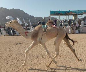 رئيس الاتحاد المصري: تنظيم مهرجان الهجن الرابع بشرم الشيخ من 20 إلى 22 فبراير الجاري