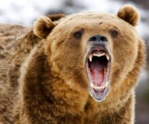 الدب حيوان دموي قاتل فلماذا اختاروه «أيقونة الفلانتين»؟