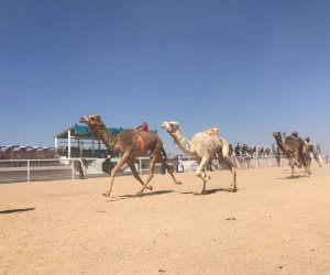 أسماء الفائزين بأشواط سباقات الفترة المسائية بمهرجان شرم الشيخ للهجن