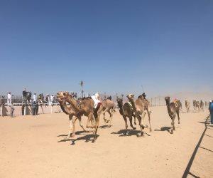 ختام ناجح لمهرجان شرم الشيخ الدولي للهجن بدعم إماراتي وبمشاركة 1030 هجينا (صور)