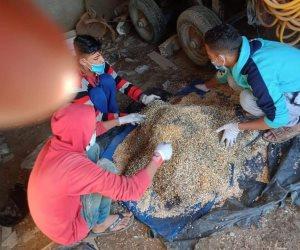 الزراعة VS الفئران.. كيف استعدت الوزارة لحماية «سنابل القمح»؟