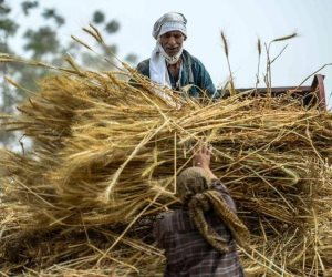 حصاد 1.2 مليون فدان قمح.. وتوريد مليون طن للتموين